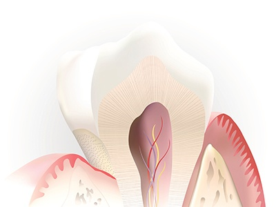 Animation of the inside of a healthy tooth